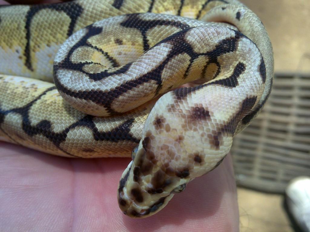 Bumblebee Ball Python (Head)